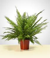 Plants - Beautiful Fern Plant