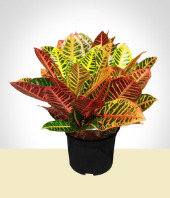 Plants - Colorful Croton Plant