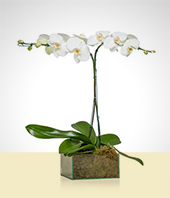 Flower Arrangements - Dream Orchid